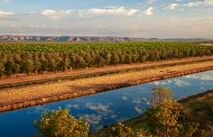 Areas around Kununurra, in north-eastern WA, have attracted the world's biggest Indian sandalwood plantations, due to great amounts of water available to them from artifical Lake Argyle. Approximately 5500ha of sandalwood is planted on the Ord River plain and at Kingston Rest farm, 60km south of Kununurra.  Photo Credit: Frances Andrijich