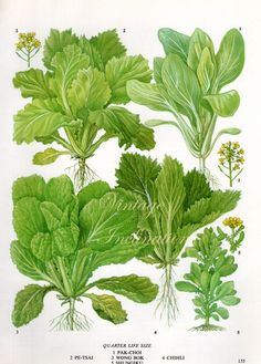 Vintage Botanical Print Antique PAK CHOI by VintageInclination, $9.00