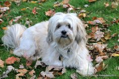 """"""" Zeus """" is his name. He is a Lhasa Apso"""
