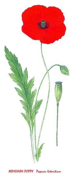 Armenian Poppy Image Notes, Poppy, Fruit, Poppies