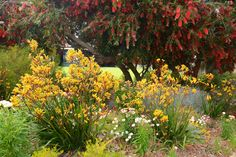Anigozanthos Gold Velvet hybrid. Photo: D. Blumer.bottle brush trees in back and kangaroo paws in front