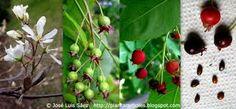 Resultado de imagen de arbustos de frutos comestibles