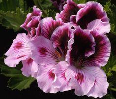 Martha Washington Geranium Plum Parfait, Pelargonium domesticum, Regal Geranium.  I WANT!!!