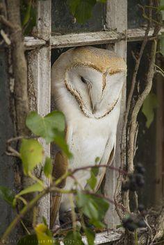 Barn Owl by linneaphoto on DeviantArt