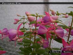 Fuchsia Poteries Girl - single upright -- FuchsiaFinder is a searchable fuchsia flower database. The database has more than 16.000 cultivars .