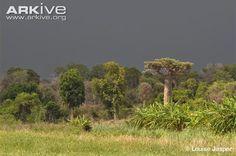 Grandidier's baobab in natural habitat.
