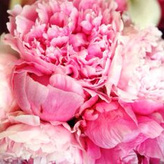 Pink Peonies are my Favorites! Oh for the beauty of ruffling peonies, soft buttery petals sunbathing in my garden.and gently slipping into my dreams!