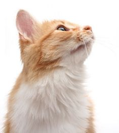 Get quick facts on cat insurance with this breakdown of pet insurance options for the average mixed-breed cat.