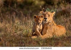 Lion mother of Notches Rongai Pride with cub in Masai Mara, Kenya - stock photo