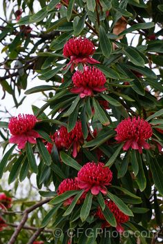 New South Wales Waratah (Telopea speciosissima), an evergreen, spring-flowering shrub or small tree native to southeastern Australia. It grows to around tall, often with a considerable spread. More Telopea Photos. Australian Native Flowers, Australian Garden, Waratah Flower, Purple Clematis, Pot Plants, Backyard Garden Design, Flowering Shrubs, Small Trees, Growing Flowers