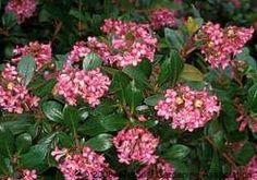 Pink Princess Escallonia plant care guide