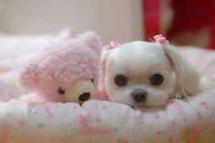Maltese puppy - look at that puppy face next to her pink teddy! Such love, beautiful doggie.