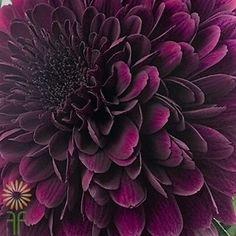 Purple Cremone Mums | Wholesale Flowers & DIY Wedding Flowers Xmas Flowers, Plum Flowers, Purple Wedding Flowers, Colorful Flowers, Wedding Flower Guide, Wedding Ceremony Flowers, Wedding Ideas, Purple Mums, Deep Purple Color