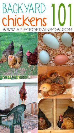 Chickens give us yummy eggs, and they are great helpers in the garden! Here are 7 essential steps on how to get started with backyard chickens! - A Piece Of Rainbow