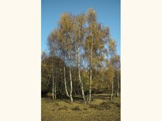 Silver birch is one of two native birch trees in the UK. Commonly hybridising with downy birch, learn to identify it, the wildlife it supports and uses. Betula Pendula, Downy, Birch, Woodland, Trust, Wildlife, Home And Garden, Silver, Money