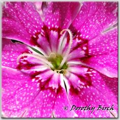 "Dianthus  A lot of pop can come from even a little flower!  (Especially when you blow it up to 10x10"" and frame it!"""