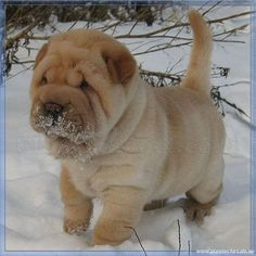 Shar Pei Puppy in snow