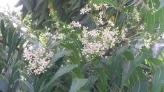 De Neem tree in onze tuin staat in bloei en ruikt heerlijk! Voorjaar op Curacao Happy Turtle, Plants, Plant, Planets