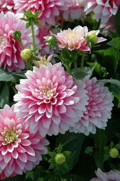Crisantemo - Dahlia 'Bagatelle' by flowersgardenlove. Exotic Flowers, Flowers Nature, Amazing Flowers, My Flower, Pink Flowers, Flower Power, Beautiful Flowers, Simply Beautiful, Purple Dahlia