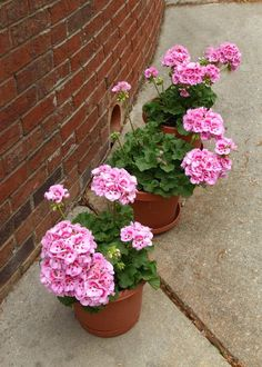 My pink contribution for this Pink Saturday is my new pink geraniums all. Geranium Plant, Pink Geranium, Carnation Plants, Carnations, Flowers Perennials, Planting Flowers, Beautiful Gardens, Beautiful Flowers, Flowers Nature