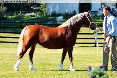 Welsh Pony of Cob Type (section C) - mare Kildegaards Bouncing Lady