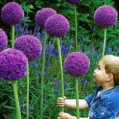"Allium Gladiator"" Large, ball-shaped purple flowerheads, 6-9 inches across with silver tips. Blooms early summer. Great as long-lasting cut flower. Height: 4-5 feet (Bulb) - I am so planting these when we get a house! They look like they are from a Dr. Seuss book!"