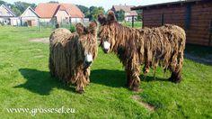 Baudet du Poitou Esel
