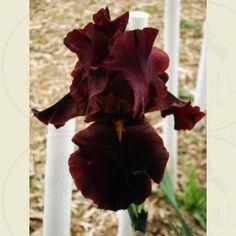 Red At Night - Tall Bearded Iris