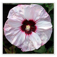 Hibiscus 'Cherry Cheesecake'