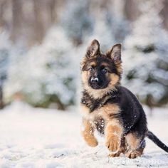 En savoir plus sur le fidèle chiot berger allemand . Dog Training Methods, Basic Dog Training, Best Puppies, Dogs And Puppies, Doggies, Terrier Puppies, Big Dogs, Cute Dogs, Puppy Obedience Training