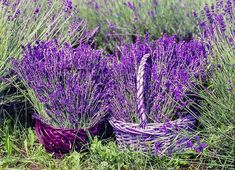 Purple flowers are a great way to add interest to your yard or landscape. See some of our favorite purple garden flowers! Lavender Cottage, Lavender Tea, French Lavender, Lavender Fields, Lavender Flowers, Beautiful Flowers, Purple Flower Names, Purple Flowers, Lavender Essential Oil Uses