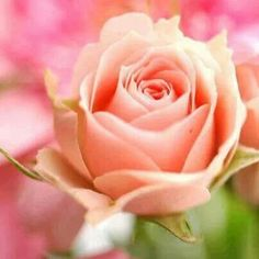 Yesterday I visited my friend. At that time, I bought a little bouquet and then this rose were in it. Beautiful Roses, Pretty In Pink, Beautiful Flowers, Pretty Roses, Simply Beautiful, Beautiful Gardens, Run For The Roses, Rose Pictures, Peach Flowers