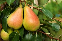 Dwarf Fruit Trees For Your Backyard Orchard