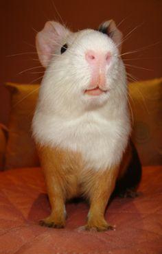Devrim. Proud guinea pig by ~Dashytka on deviantART