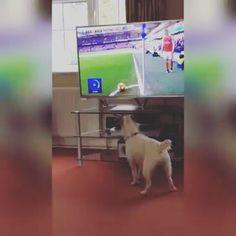 """486 kedvelés, 5 hozzászólás – Nemzeti Sport Online (@nso.hu) Instagram-hozzászólása: """"HOL A LABDA? 😮 #ballislife #dog #cute #funny #MesutÖzil #Arsenal #mik"""""""