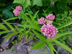 Swamp Milkweed - Milkweed Plant Information Swamp Milkweed, Milkweed Plant, Leafhopper, Plant Information, Bright Flowers, Garden Plants, Rose, Glitter Flowers, Pink