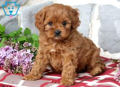 Quality cavoodle puppies for sale, colour chestnut,red ...