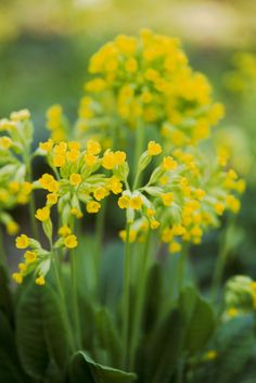 Plants for shade: common cowslip (Primula veris). Rich yellow, fragranced flowers emerge in spring. Grow it in partial shade or try planting it up with anemone for a shade-suited container. Here's how http://www.gardenersworld.com/plants/pots-containers/spring/primula-and-anemone-pot-display/1196.html