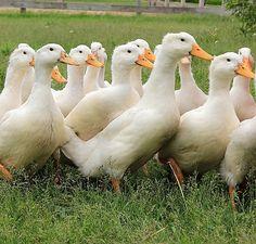 na-da farm life ducks
