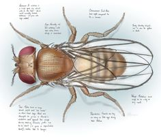 Princeton Alumni Weekly: Biology: Some Respect, Please, for the Glorious Drosophila