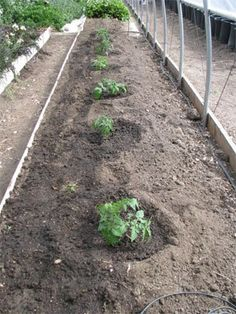 This is a MUST READ for anyone growing tomatoes. There's LOTS of science behind this planting plan that makes super healthy plants. Links give even more advice/ with pictures. | greengardenblog.c...