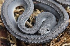 The Dragonsnake! Native to Thailand the Dragonsnake, only eats frogs and grows to about of 2 ½ ft. Not much is known about the species because they don't survive in captivity.