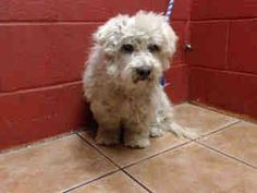 15 YEAR OLD BICHON FRISE NEEDS PLEDGES AND RESCUE! OWNER SURRENDER! AVAILABLE NOW! A4810387 My name is Chelsea and I'm an approximately 15 year old female bichon frise. I am already spayed. I have been at the Downey Animal Care Center since March 22, 2015. I am available on March 22, 2015. You can visit me at my temporary home at D419. https://www.facebook.com/photo.php?fbid=839468136133520&set=pb.100002110236304.-2207520000.1427064654.&type=3&theater