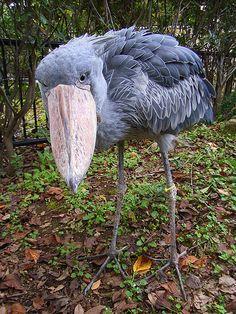 """Der Schuhschnabel (Balaeniceps rex), auch Abu Markub (arab. """"Vater des Schuhs""""), ist ein afrikanischer Vogel. Der nach seinem mächtigen Schnabel benannte Vogel ist ein Bewohner von Sümpfen. Oft verharrt ein Schuhschnabel lange Zeit bewegungslos. Abgesehen vom Moment des Beutefangs ist sein ganzes Verhalten von langsamen und bedächtigen Bewegungen geprägt. Obwohl er problemlos fliegen kann, nutzt er diese Fähigkeit nur selten."""