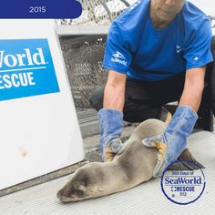 Caring members of the SeaWorld Rescue Team work to help malnourished sea lion pups found stranded on California beaches, like this little guy. #2015SeaLionCrisis #365DaysOfRescue