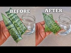 How to grow snake plant from cutting in water.Learning how to propagate snake plants is extremely easy.Rooting a snake plant in water is one of the most fool. Snake Plant Propagation, Plant Cuttings, Succulent Planter Diy, Planting Succulents, Propagating Succulents, Planting Vegetables, Indoor Water Garden, Indoor Plants, Snake Plant Care