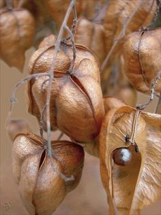 Seedpods of the Japanese lantern tree, also called the golden rain tree