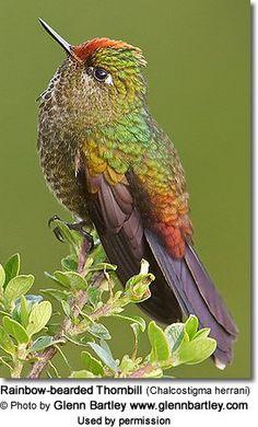 Hummingbirds - Nature Animals Birds Hummingbird Rainbow-bearded Thornbill (Chalcostigma herrani