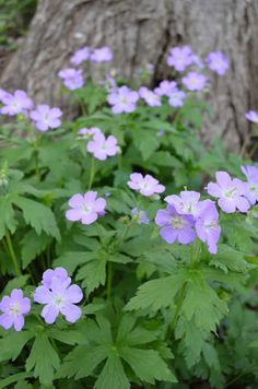 Geranium maculatum (Wild Geranium). I threw a few seeds into the backyard bed two years ago. Imagine my surprise to find several of these growing and now blooming this year!