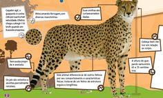 velocidade do Guepardo Solitário ou solidário? Os guepardos ...